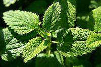 Fresh Mint leaves growing