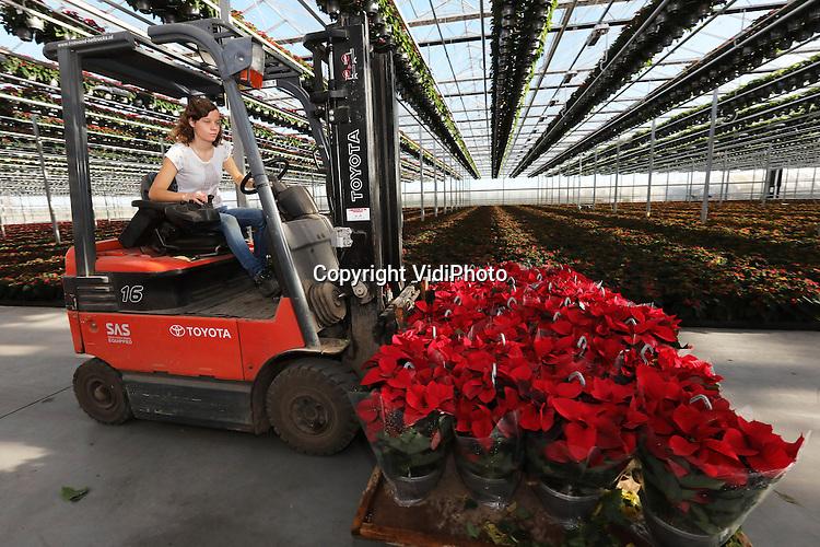 Foto: VidiPhoto<br /> <br /> EST - Personeel van kweker Van den Berg in Est bij Geldermalsen, rapen en verwerken woensdag de eerste kerststerren 2.0 van het seizoen. Tot de Kerst gaan enkele miljoenen kerststerren vanuit Nederland de wereld over. Bij Van den Berg worden een kleine 200.000 kerststerren 1.0 en 2.0, zoals de princettia ook wel wordt genoemd, verwerkt. De vraag naar de princettia  is in een jaar tijd fors gestegen. Naast 160.000 gewone kerststerren, levert de kweker uit Est nu ook 40.000 princettia's. Vorig jaar waren er dat nog maar 10.000. De princettia is kleurrijker dan de gewone kerstster en heeft ook een fijnere bloem. Bovendien kan deze kamerplant tot het begint te vriezen ook nog de tuin in. Van den Berg hoort bij de top vier van kwekers van kerststerren. Ruim de helft van de productie gaat naar Duitsland.  Daar staan de winkels komende week vol met Hollandse kerststerren.