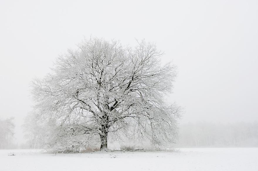 Nederland,  Driebergen, 2 maart 2006.Landgoed Noordhout.Solitaire boom, eik, op akker, in sneeuw en mist. landschap. sfeer, verstilde natuur. . Foto (c) Michiel Wijnbergh