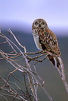 Short-eared Owl in Oregon