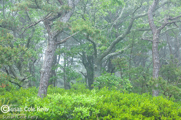 Pitch pines and fog, Cape Cod National Seashore, Wellfleet, Massachusetts, USA