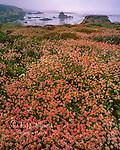 Buckwheat, Eriogonum, Soberanes Point, Garrapata State Park, Big Sur, Monterey County, California