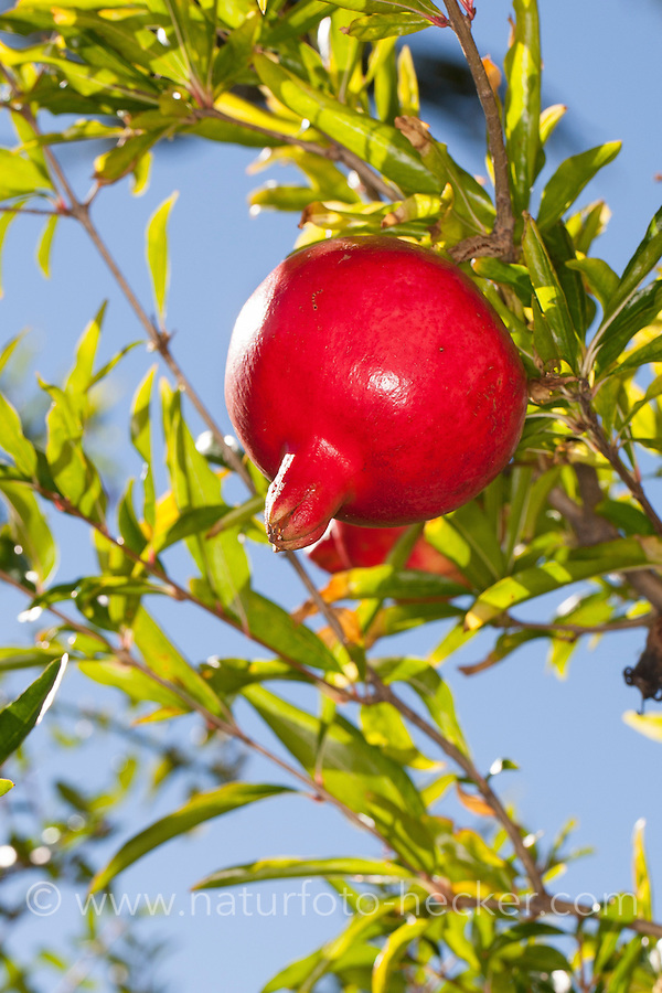 Granatapfel, Granat-Apfel, Granatapfelbaum, Frucht, Punica granatum, Pomegranate, Grenadier