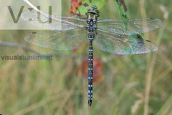 Green-striped Darner Dragonfly ,Aeshna verticalis,, Ohio, USA.