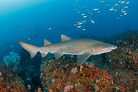 WP1192-D. Sand Tiger Shark (Carcharias taurus) swimming over colorful rocky reef. This species also known as Gray Nurse Shark in Australia and Ragged-tooth Shark here in South Africa. Previously classified as Eugomphodus taurus and Odontaspis taurus. South Africa, Indian Ocean.<br /> Photo Copyright © Brandon Cole. All rights reserved worldwide.  www.brandoncole.com