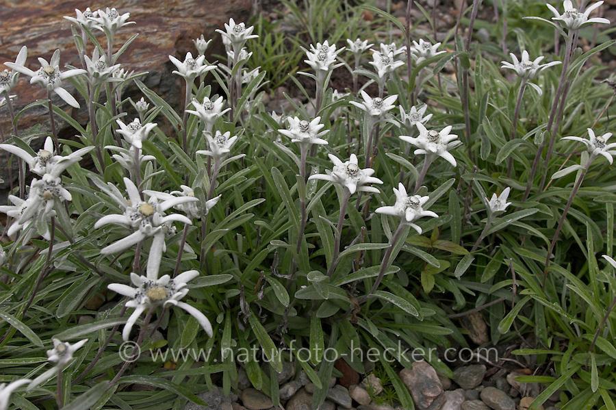 Alpen-Edelweiß, Alpen-Edelweiss, Edelweiß, Leontopodium alpinum, Leontopodium nivale alpinum, Edelweiss des Alpes