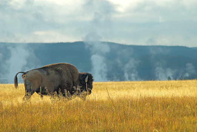 A Bison grazes in the middle geyser basin in Yellowstone National Park.