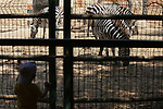 A picture taken on August 12, 2017 shows Zebras are seen at the Qalqilya Zoo, in the west bank city of Qalqilya. The Qalqilya national Zoo garden established in 1986 on 40 donums. Photo by Ayman Ameen