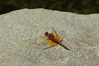 389190013 a wild male red rock skimmer paltothemis lineatipes perches on a granite rock in piru creek in los angeles county california
