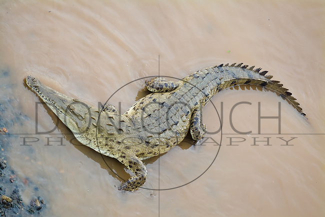 Crocodiles in the Rio Tarcoles, Costa Rica