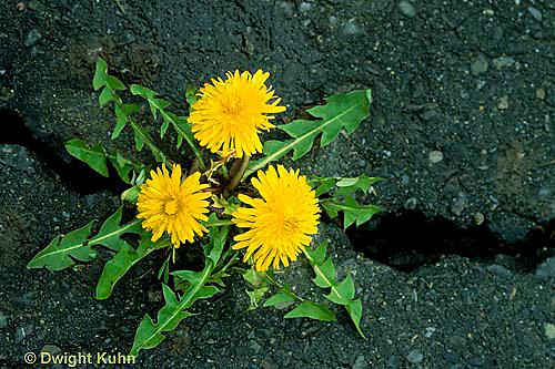 DN16-001c  Dandelion - plant growing in crack -  Taraxacum officinale