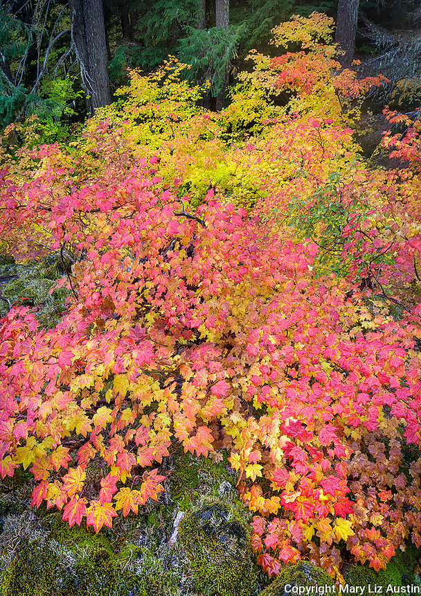 Willamette National Forest, OR: Colorful autumn colors of vine maples (Acer circinatum)