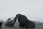 Antarctic fur seals on Prion Island, South Georgia.
