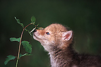 Portrait of a coyote pup smelling a leaf.
