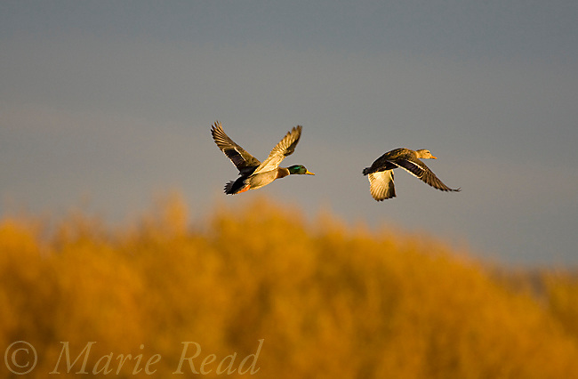 Mallards (Anas platyrhynchos) pair in flight in autumn, Bosque Del Apache National wildlife Refuge, New Mexico, USA