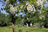 In May, acacia groves are a-buzz with bees. Acacia honey is one of the most popular single-flower honeys in France. The flowering of acacia can be fickle but generally yields large amounts of honey (acacia does not produce pollen) hence the importance of the transhumance.