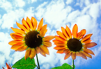 Helianthus Cappuccino branching sunflowers, orange gold against blue sky and clouds