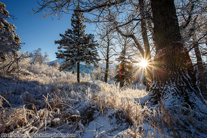 winter landscape of sun through cottonwood tree forest along upper hillside Bear Valley area in Anchorage January 2014