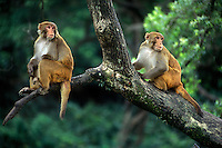 MONKIES in a tree at the PASHUPATINATH TEMPLE COMPLEX - KATHAMANDU, NEPAL