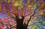Maple Tree (Acer) in autumn, showing the typical branching pattern of deciduous trees, USA.