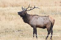 01980-02901 028.18 Elk (Cervus elaphaus) bull male bugling, Yellowstone National Park, WY