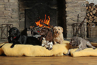 FAO JANET TOMLINSON, DAILY MAIL PICTURE DESK<br />Pictured: Some of the dogs in the Training Barn Monday 14 November 2016<br />Re: The Dog House in the village of Talog, Carmarthenshire, Wales, UK