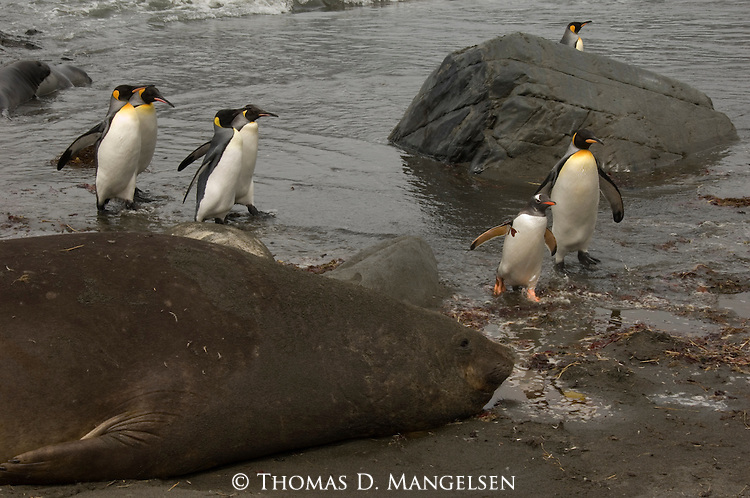 A king penguins and a Gentoo penguin are dwarfed by a Southern elephant seal at Cooper Bay, South Georgia.