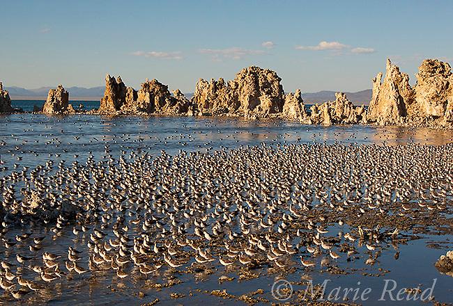 Wilson's Phalaropes (Phalaropus bicolor) cover the shoreline, South Tufa, Mono Lake, California, USA