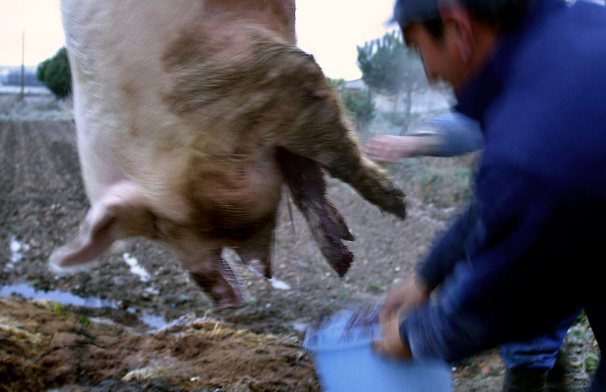 Traditional pig slaughter, Alba de Tormes, Spain, December, 2002.