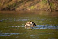 Jaguar (Panthera onca) swimming, crossing Rio Negro, Pantanal, Mato Grosso do Sul, Brazil, South America