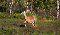Alarmed white-tailed doe in a northern Wisconsin field.