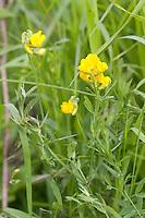 Wiesen-Platterbse, Wiesenplatterbse, Platterbse, Lathyrus pratensis, Meadow Vetchling