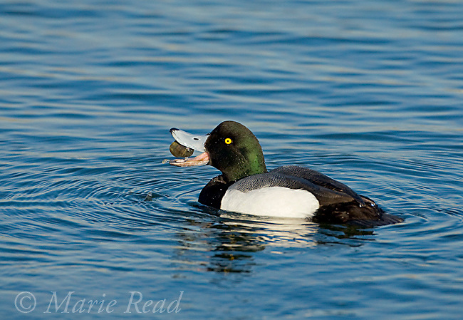 Greater Scaup (Aythya marila) male in breeding plumage, feeding on shellfish, Bolsa Chica Ecological Reserve, California, USA