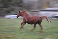 Runing at the paddock, a stellion Horse while a morrow walk in dew near Leipzig south. (Photo.: Stefan Noebel-Heise)....Galopp, run,Pferd,Horse, Morgen, Tau, morningdew, dew, Sunrise, Hengst, stellion, Paddock,Koppel, Morgendunst, mist, Nebel,Zaun, Fence, wald,Land,Wiese, Willow, Gras, Wildlive,Urban Animals, Hafer, Reiten, horseback riding,