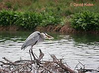 0111-0915  Great Blue Heron, Ardea herodias © David Kuhn/Dwight Kuhn Photography