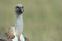 Griffon vulture; Gyps fulvus, Serra de Beumort, Gerri de la Sal, Catalonia, Spain.