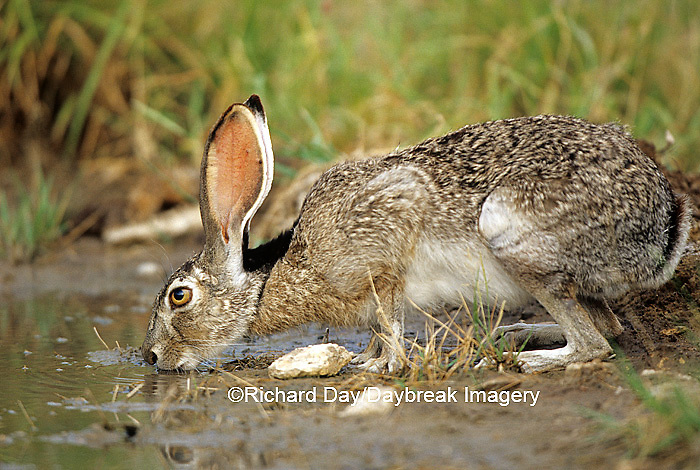 02203-001.07 Black-tailed Jack Rabbit (Lepus californicus) drinking at water Starr Co. TX