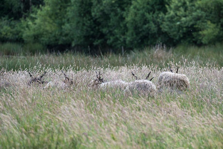 Racka schaap (Ovis domesticus)