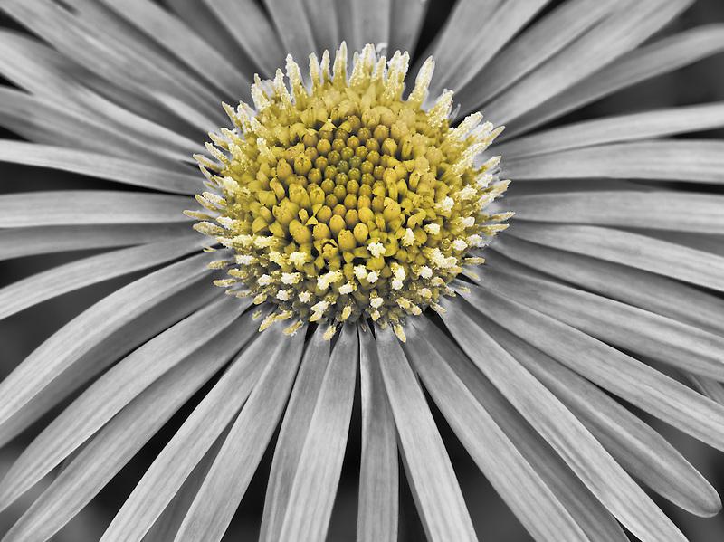 Close up of Doronicum flower. Oregon