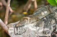 Morelet's crocodile, Crocodylus moreletii, aka Mexican crocodile, juvenile, resting on a log, Cancun, Yucatan, Mexico