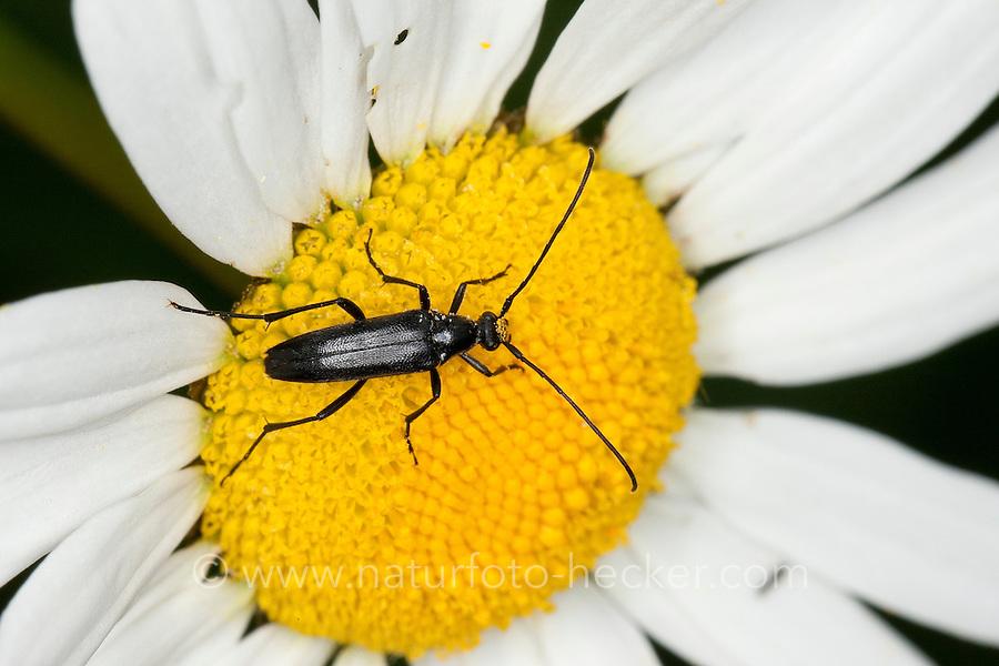 Schwarzer Schmalbock, Schmal-Bock, Stenurella nigra, Strangalia nigra, Leptura nigra