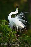 Great Egret (Ardea alba) in nuptial plumage performing courtship display, Orlando, Florida, USA