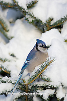 01288-05502 Blue Jay (Cyanocitta cristata) in fir tree in winter, Marion Co., IL