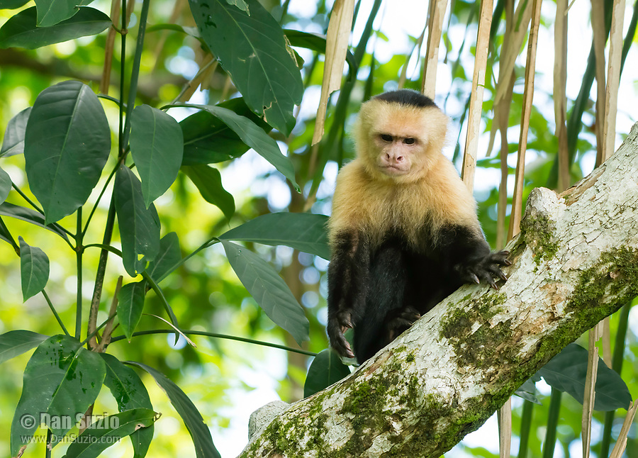White-faced Capuchin, Cebus capucinus, in a tree in Manuel Antonio National Park, Costa Rica