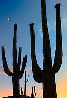 Silhouetted Saguaro cactus. Sonoran Desert, Arizona.