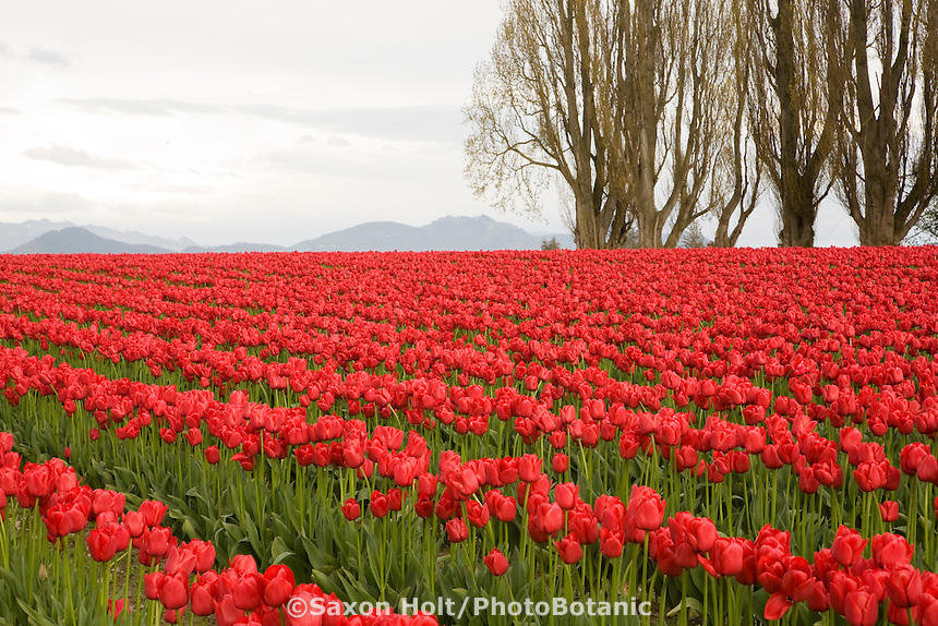 Poplar trees in spring edging rows of red tulip flowers in commercial agriculture bulb farm field at Tulip Festival, Skagit Valley Washington