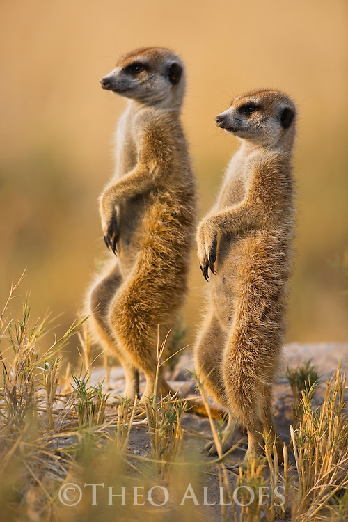 Suricates or Meerkats (Suricata suricatta) looking out for predators, Kalahari, Makgadikgadi Pans National Park, Botswana