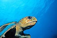 Loggerhead turtle, Caretta caretta, Netherland Antilles, Bonaire, Caribbean Sea, Atlantic