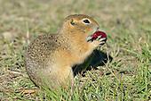 Richardson's Ground Squirrel - Urocitellus richardsonii