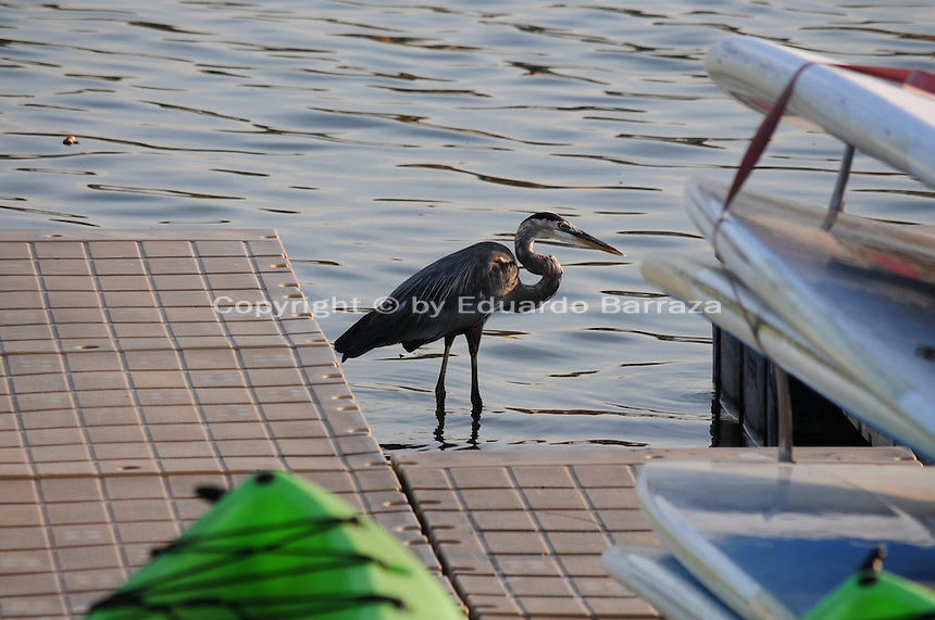 Tempe, Arizona. A great blue heron on the waters of Tempe Town Lake. Herons and other birds are regularly seen on the lake. Photo by Eduardo Barraza © 2015